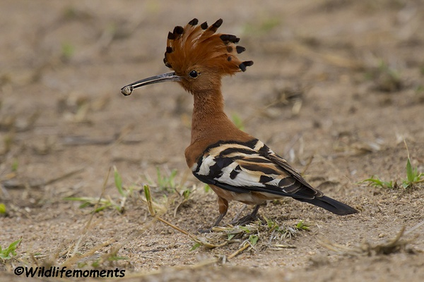 African hoopoe picture