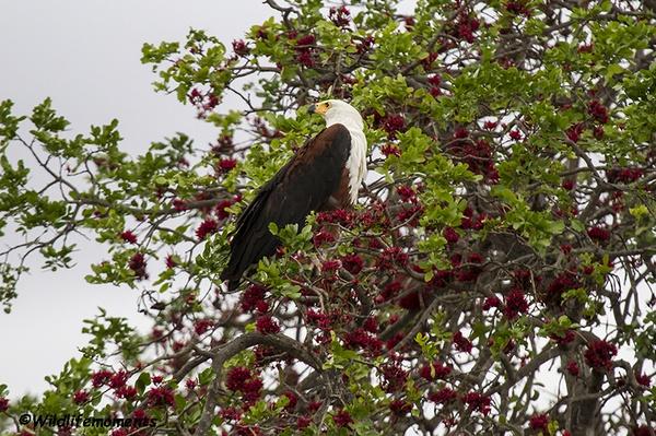 Fish eagle 2 picture