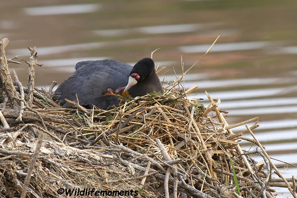 Red-knobbed coot with chicks in nest picture