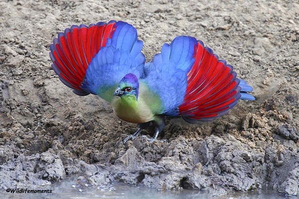 Purple-crested turaco picture