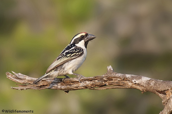 Pied barbet picture