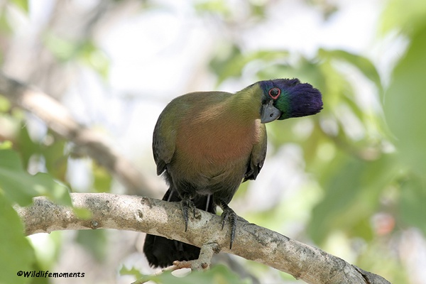 Purple-crested turaco sitting in tree picture