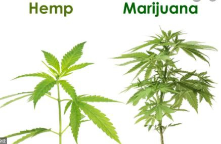 CBD MINI LESSONS (1) : WHAT IS CBD ? Questions ! Questions ! picture