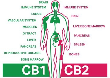 CBD MINI LESSONS (2) :HOW DOES CBD OIL WORK IN THE BODY ? picture