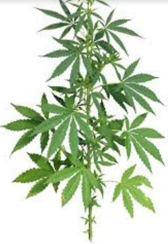 CBD MINI LESSONS (7) : Would you drink poison ? picture
