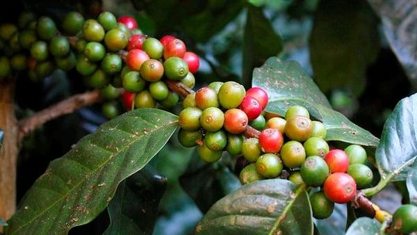 Wild arabic coffee picture