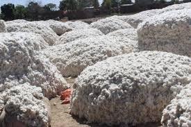 Cotton picture
