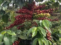 Coffee kenya picture