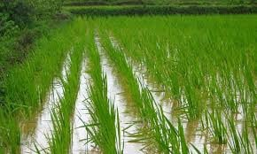 Rice picture