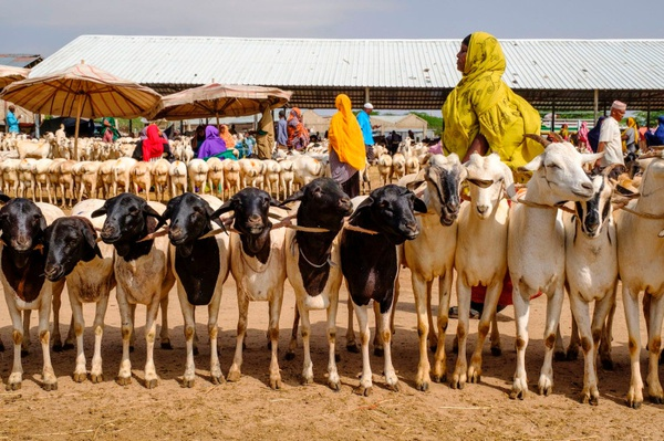 Livestock for export picture