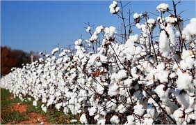 Cotton from uganda picture