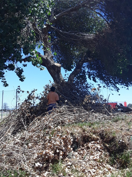 TREE SURGERY,CLEARANCE picture
