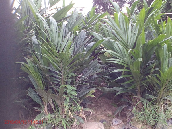 High quality oil palm seedlings picture