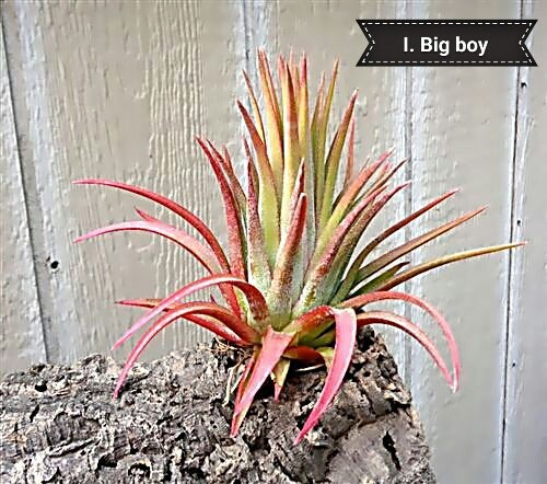 Ionantha big boy picture