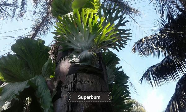 Platycerium superbum - extra large picture