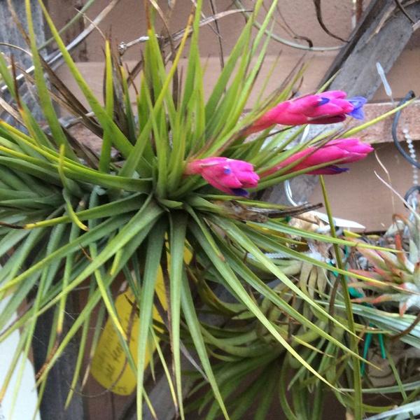 Aeranthos x rec. secundafolia picture