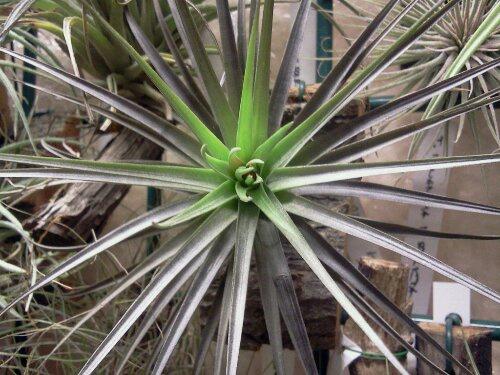 Aeranthos nigra picture