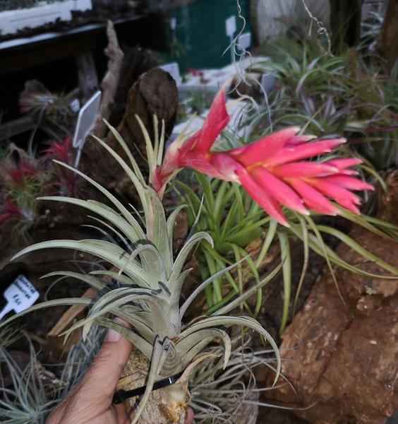 Aeranthos x cacticola - andean jewel picture