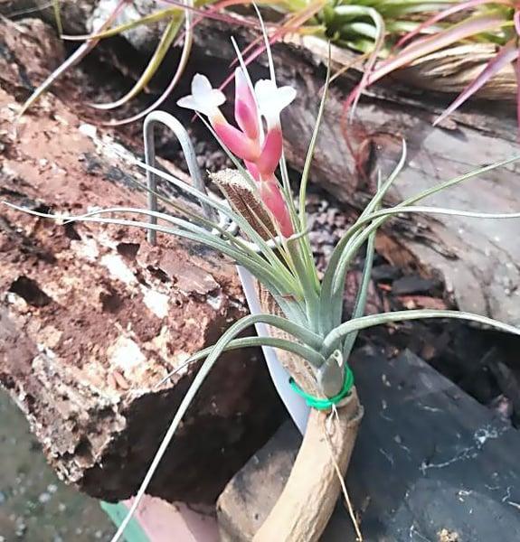 Aeranthos x recurvifolia var subsecundifolia - white flower picture