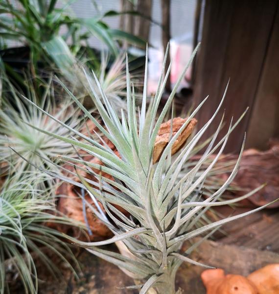 Aeranthos x tenufolia picture
