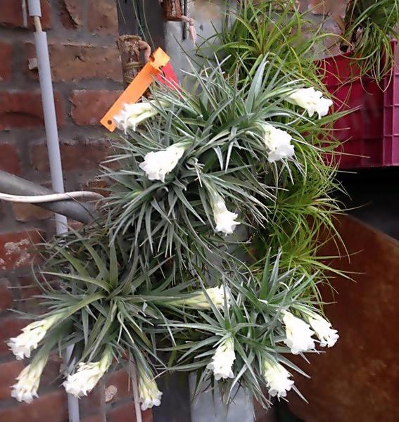 "Aeranthos x recurvifolia ""white flower"" picture"