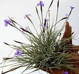 Tillandsia bandensis picture