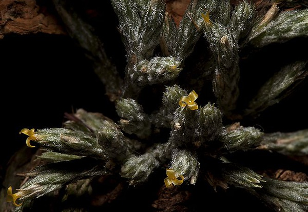 Bryoides picture
