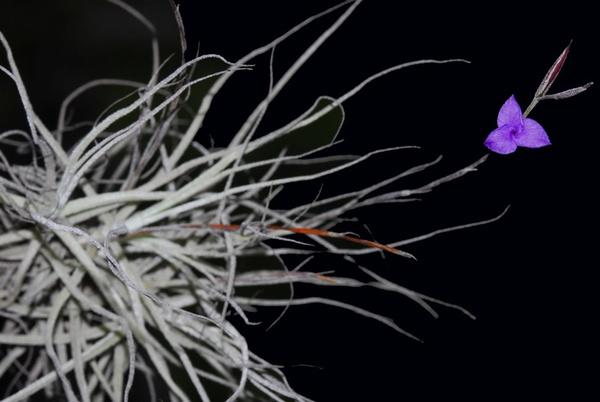 Caerulea picture