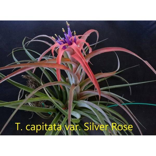 Capitata silver rose picture