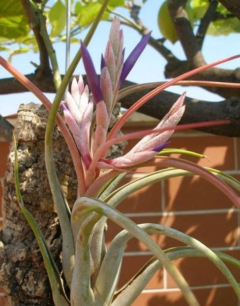 Paucifolia (circinnata) picture