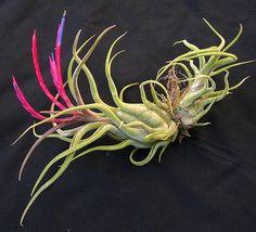 Streptophylla x caput medusae - el guapo picture