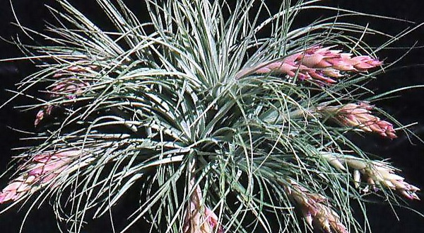Feather duster (stricta x gardneri) picture