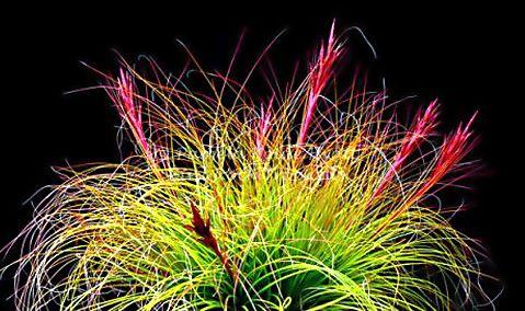 Festicoides picture