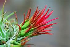 Ionantha fuego picture
