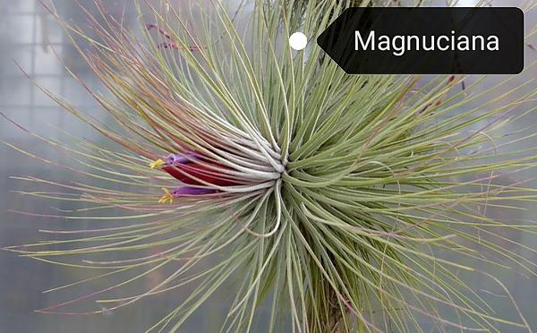 Magnuciana picture