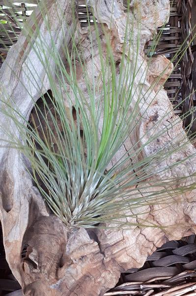 Juncea pine needle picture