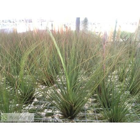 Juncefolia picture