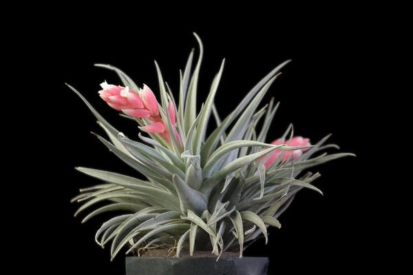 Recurvifolia picture