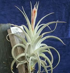 Recurvifolia var subsecundifolia picture