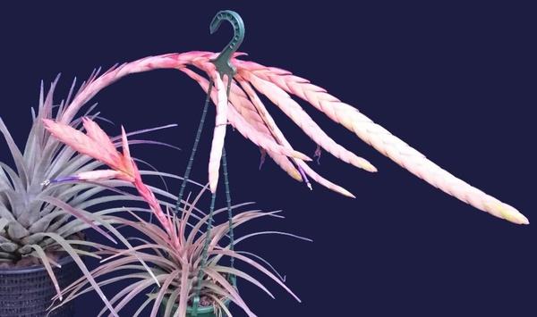 Lorentziana salmon spike - renamed as tillandsia helmutti. picture