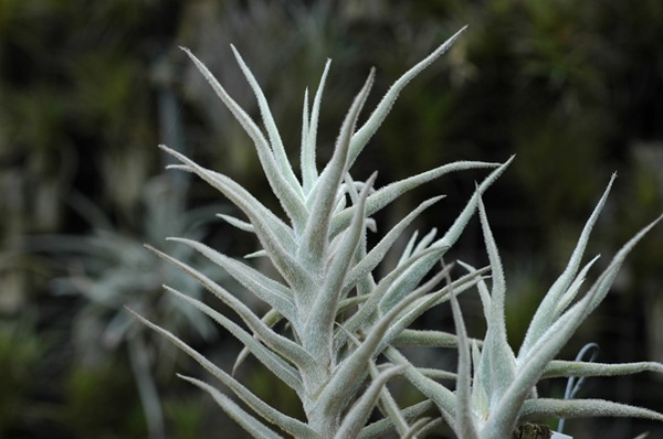 Palacea enano picture