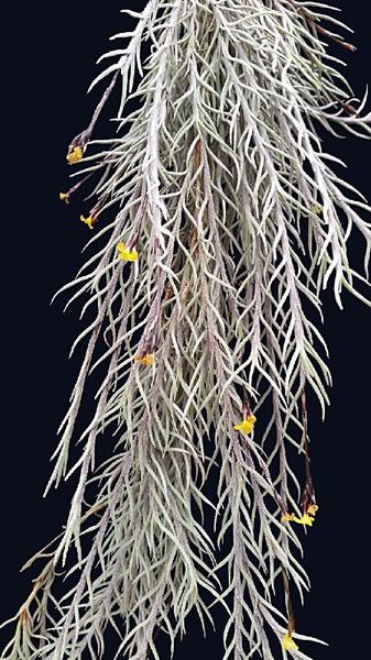 Capillaris var virescens  'pich fork' picture
