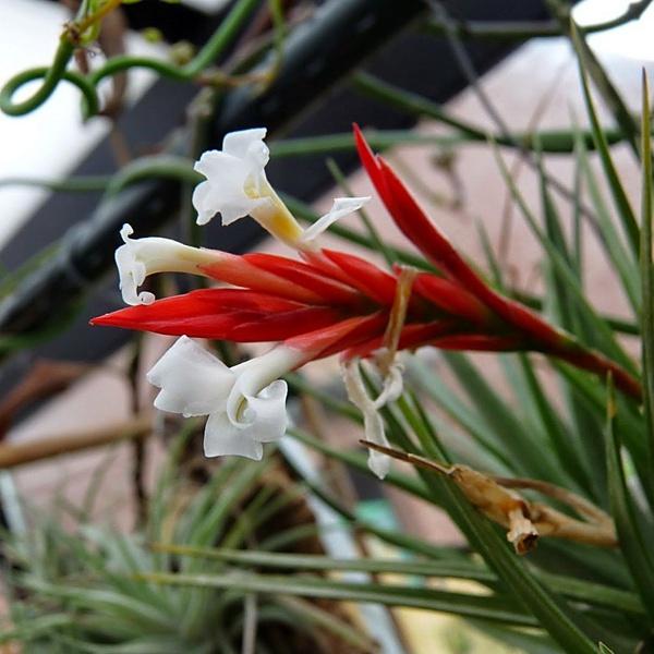 Caulescens picture