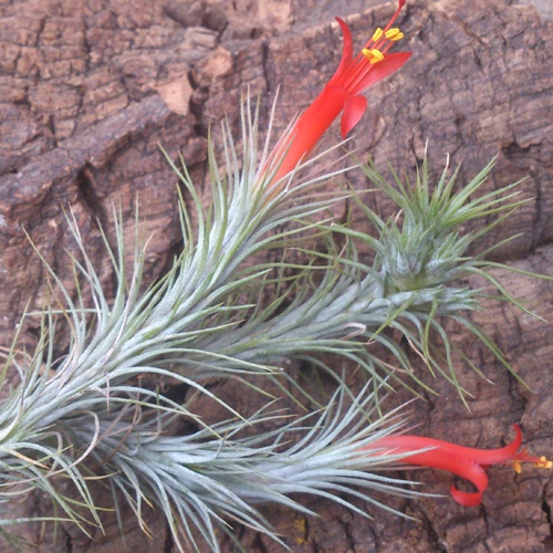 Air plant care instructions: picture