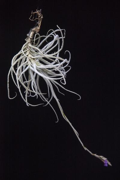 Graomogolensis picture