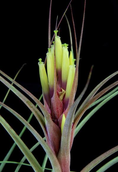 Ionantha x schiedeana (x rectifolia) picture