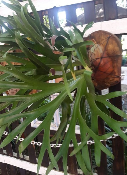 Platycerium alcicorne madagaskar - small picture