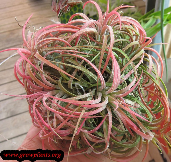 Ionantha rubra picture