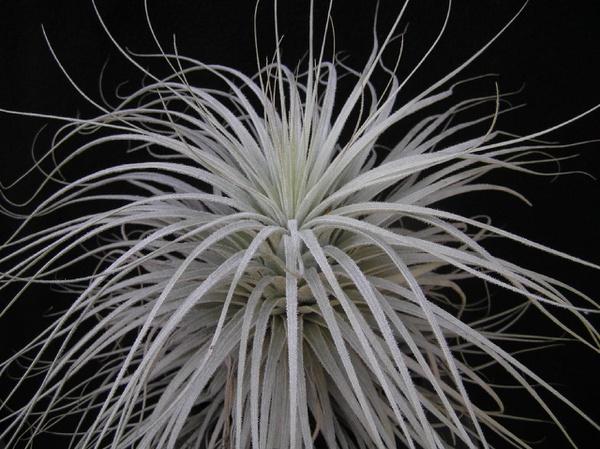 Tectorum  (peru) picture