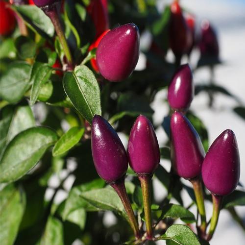 Acapulco purple chilli-pepper - 30,000 scovilles (15 seeds) picture